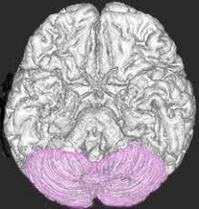 「小脳」の画像検索結果