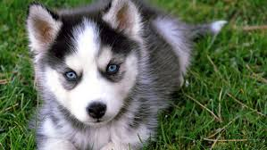 alaskan klee kai breed information