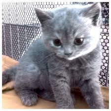 blue british shorthair kitten for pls contact me a purebred blue on day