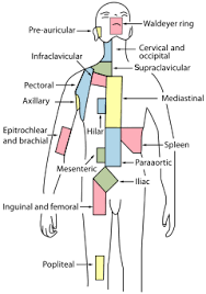 Lymph Flow Chart Lymphatic System Wikipedia