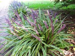 Tall Decorative Grass Views From The Garden Short Perennial Ornamental Grass Varieties