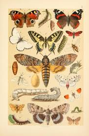 Vintage Illustrations Free Vintage Illustrations Of Butterflies And Caterpillars Free