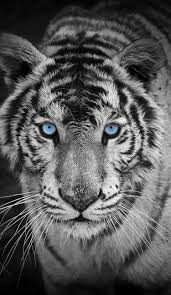 black tiger with blue eyes wallpaper. Delighful Tiger Awesome Looking Tiger Those Blue Eyes Are Simply Beautiful In Black Tiger With Wallpaper