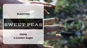 garden auger. How To Use A Garden Auger Plant Ornamental Sweet Peas (Lathyrus Odoratus) - YouTube