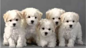 Image result for images of bichon frise puppies