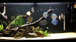 Fish Tank Joshs Discus Fish Tank Blue Fish Aquarium 111314 Youtube