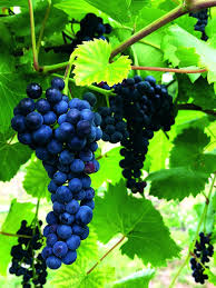 Pruning Grapes Designsasyouwish Co