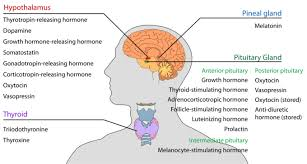 Comparative Functions Of Nervous And Endocrine Systems Chart Overview Of The Endocrine System Boundless Anatomy And