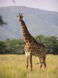 picture of a giraffe.  Picture South African Giraffe And Picture Of A Giraffe