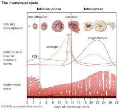 Chart Of Menstrual Cycle Hormones Menstruation Hormonal Control Of Menstrual Cycle Britannica