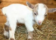 cute real farm animals.  Farm Baby Goat Cute Farm Animals  Bing Images With Real