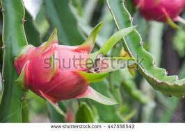 Dragon Fruit On A Tree Stock Photo Picture And Royalty Free Image Dragon Fruit On Tree