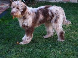 Aussiedoodle Size Chart About Our Aussiedoodles Breeding Program Aussiedoodle And