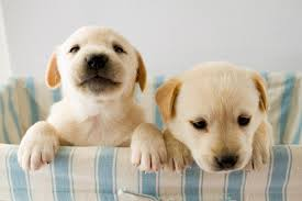 older siblings cells can be ped from female dogs to their puppies in the womb according to new research