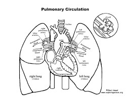 Pulmonary Circulation Through Heart And Lungs Advanced