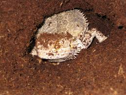 bearded dragon in the middle of laying eggs