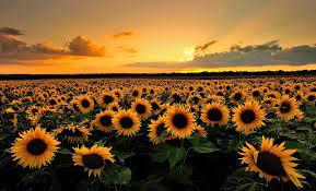 Sunflower Sunset Laptop Wallpapers ...