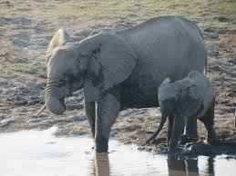 an african elephant photo essay the world wanderer mom and baby