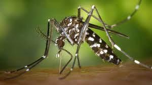 İstanbul'da Asya Kaplan Sivrisineği tehlikesi: Giysilerin üzerinden  ısırabiliyor