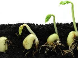 Картинки по запросу прорастания семян