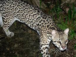 ocelot size picture 7 of 9 ocelot leopardus pardalis pictures images