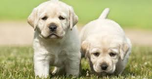 Lab Puppy Food Chart Feeding Your Labrador Puppy How Much Diet Charts And The