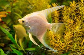Photo Of Aquarium Tropical White Fish ...