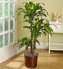 plants feng shui home layout plants. Mass Cane Floor Plant For Indoor Air - In The Back Room Plants Feng Shui Home Layout Pinterest