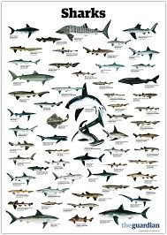 Types Of Sharks Chart Pin By Jerry Gray On Biology Types Of Sharks Shark Ocean