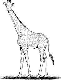 Coloriage Girafe Adulte Imprimer Sur Coloriages Info