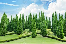pine tree garden with blue sky stock photo 57448496