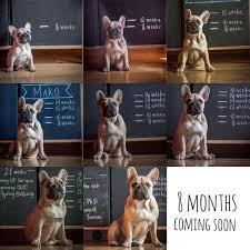 French Bulldog Puppy Growth Chart Collage Bulldog