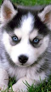 cute siberian husky puppy wallpaper. Exellent Puppy Cute Husky Puppies With Blue Eyes IPhone Wallpaper HD Throughout Siberian Puppy P