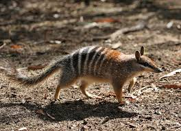 Small Picture Numbat Wikipedia
