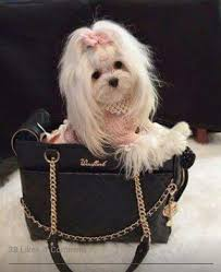 silky dog white. this maltese puppy is up on her grooming with a silky white coat while riding in dog