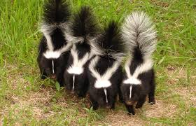 Image result for skunks spray