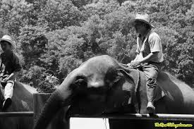 photo essay an elephant camp in black and white man on an elephant at an elephant camp near chiang mai thailand