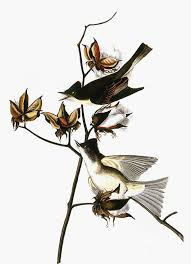 Audubon: Phoebe Poster by Granger