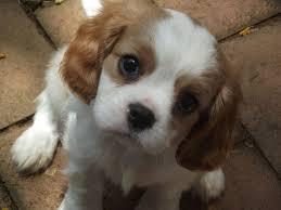 small dog breeds that don t shed por