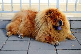 a chow chow with a strange and magnificent coat