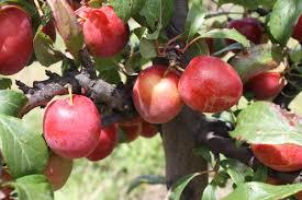 Types Of Plums And Pluots Plus Everything PlumPlum Fruit Tree Varieties