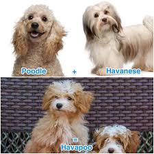 Havanese Growth Chart What Is A Havapoo The Havanese Miniature Poodle Mix All
