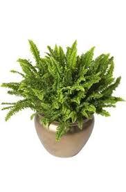 Non Toxic House Plants Cat Safe On Pinterest Ferns Non