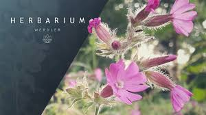 Silene dioica - (Red campion) - YouTube