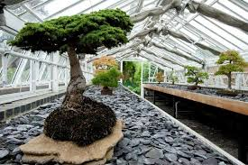 bonsai gardens. 2002-83 stjr, pinaceae, cedrus brevifolia, cyprus cedar,. the bonsai house gardens