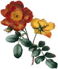 vine orange roses image