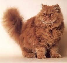 orange persian cat. Simple Orange What A Pretty Boy A  In Orange Persian Cat I