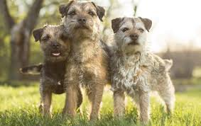 image presenting three aardehond border terriers