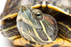 You Need To Know How Often To Feed A Red Eared Slider