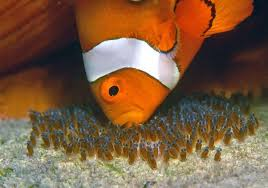 baby clown fish eggs. Plain Fish What Makes Clown Fish Eggs Stick To The Surface Of Whatever They Are Laid  On  Quora In Baby Clown Fish Eggs